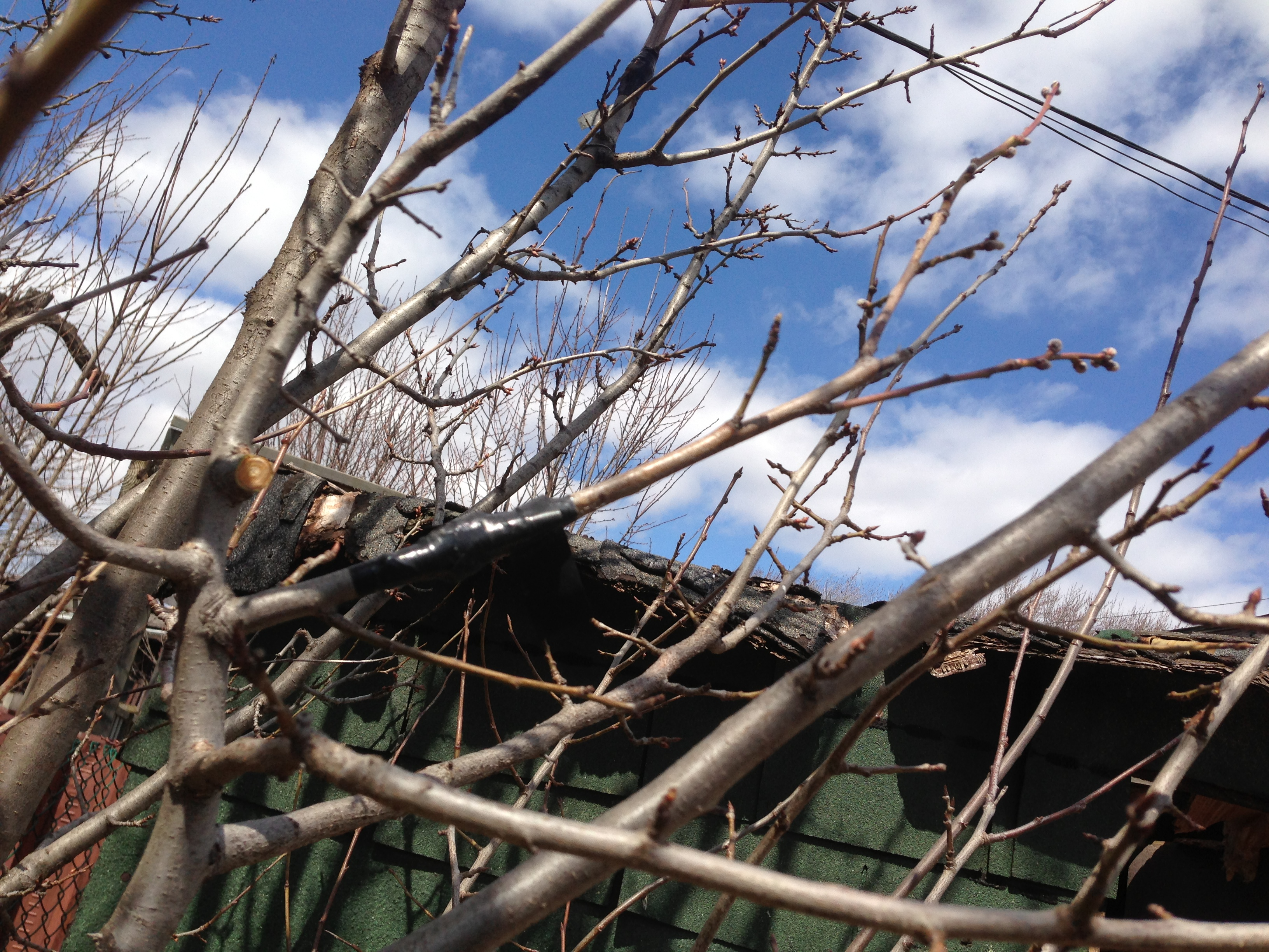 6 of 25 pruning fruit trees with scott what lies within - Graft plum tree tips ...
